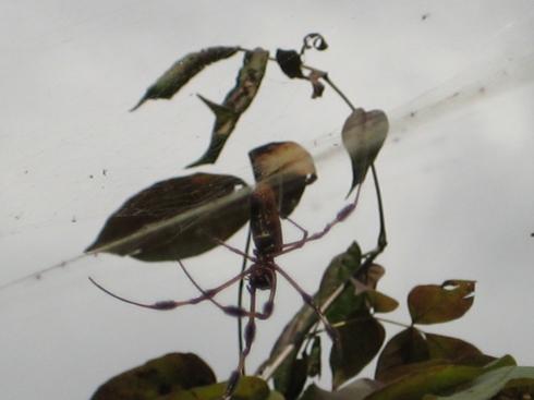 Barratariaswamp_spider3_2